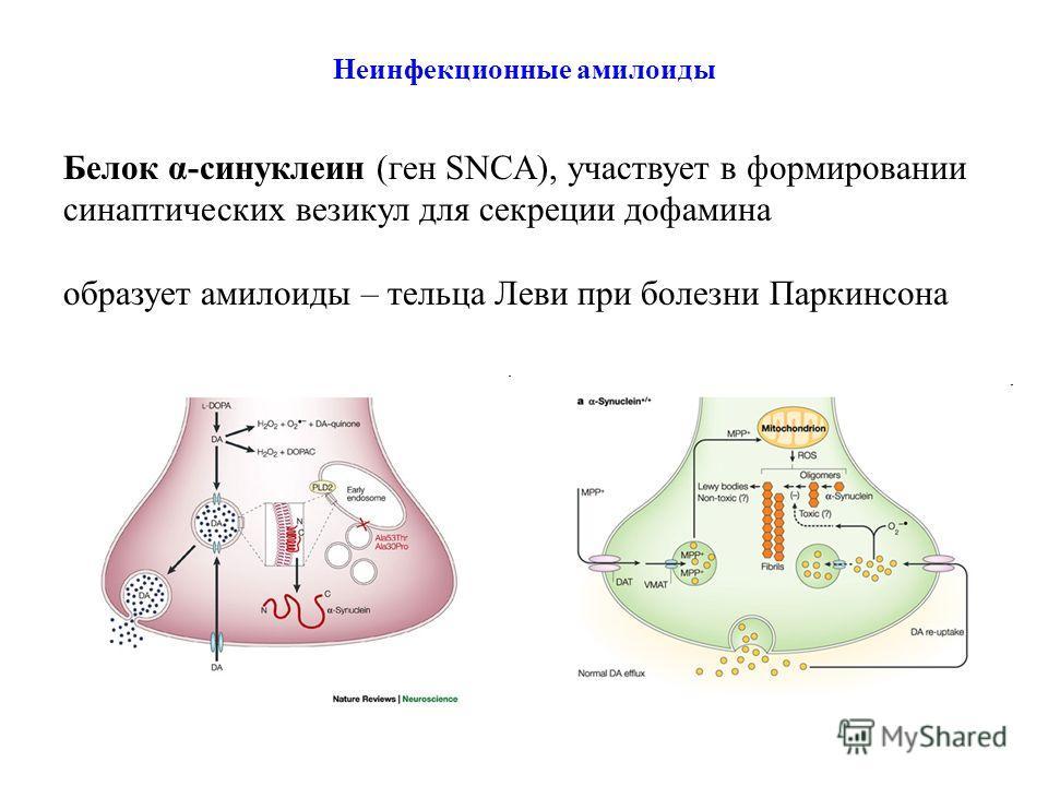 Неинфекционные амилоиды Белок α-синуклеин (ген SNCA), участвует в формировании синаптических везикул для секреции дофамина образует амилоиды – тельца Леви при болезни Паркинсона