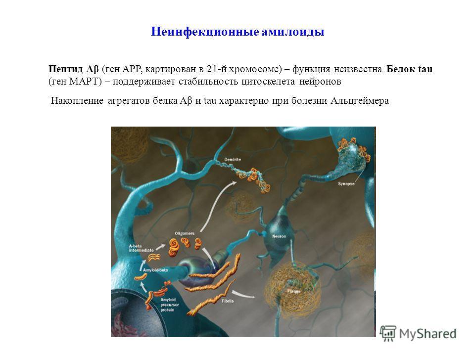 Неинфекционные амилоиды Пептид Aβ (ген APP, картирован в 21-й хромосоме) – функция неизвестна Белок tau (ген MAPT) – поддерживает стабильность цитоскелета нейронов Накопление агрегатов белка Aβ и tau характерно при болезни Альцгеймера