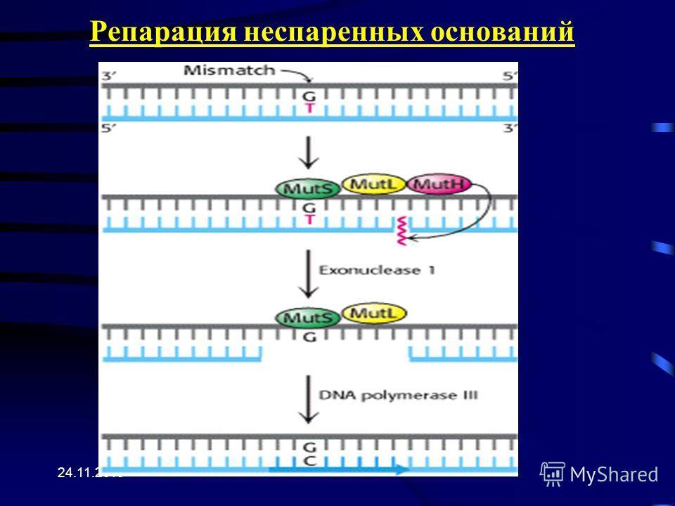 24.11.2013 Репарация неспаренных оснований