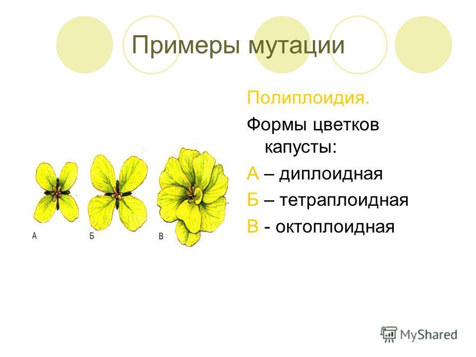 Примеры мутации Полиплоидия. Формы цветков капусты: А – диплоидная Б – тетраплоидная В - октоплоидная