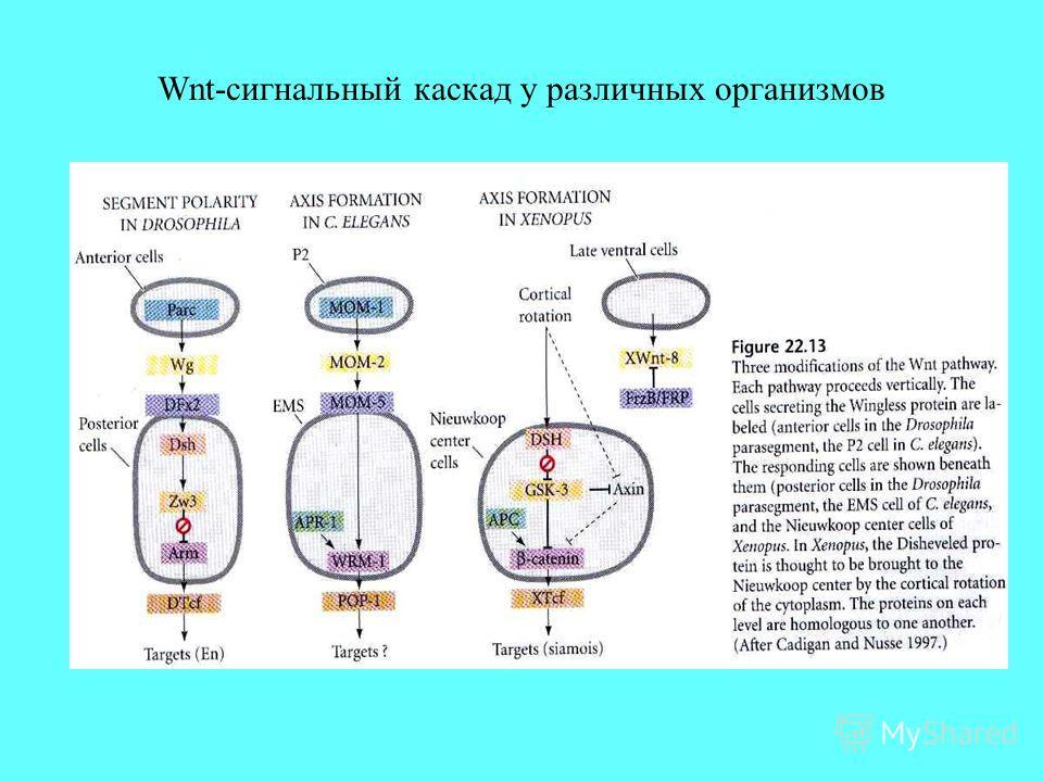Wnt-сигнальный каскад у различных организмов