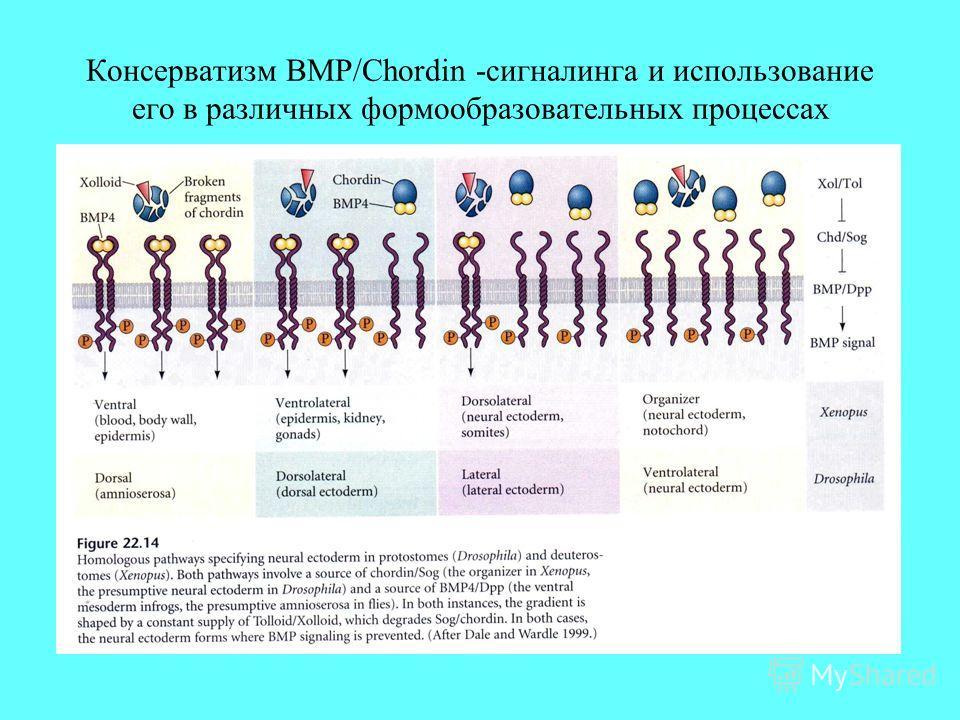 Консерватизм BMP/Chordin -сигналинга и использование его в различных формообразовательных процессах