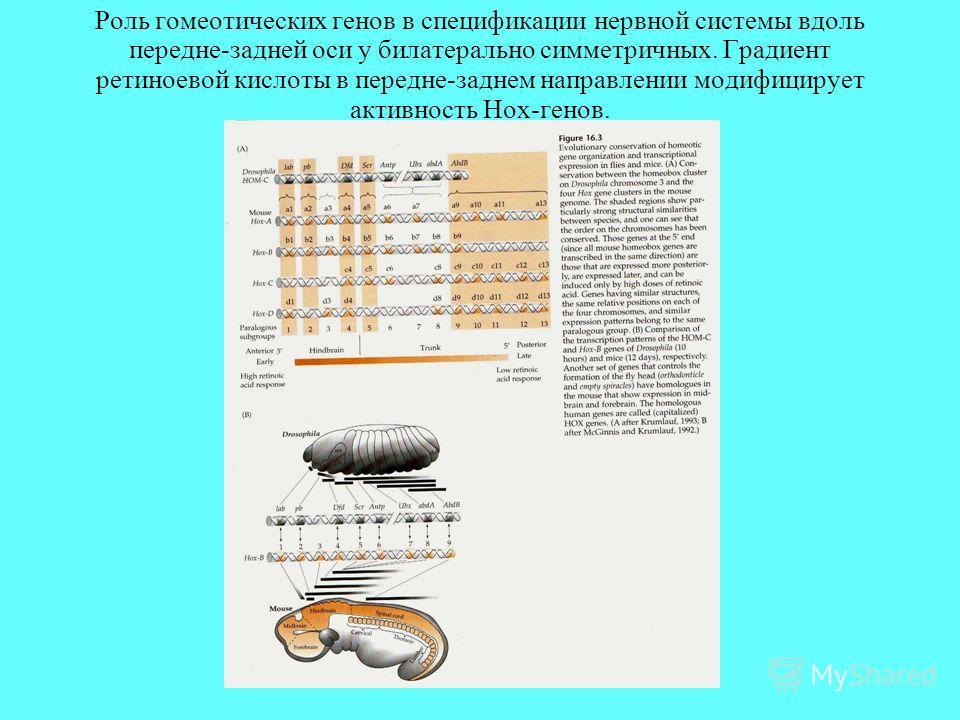 Роль гомеотических генов в спецификации нервной системы вдоль передне-задней оси у билатерально симметричных. Градиент ретиноевой кислоты в передне-заднем направлении модифицирует активность Hox-генов.