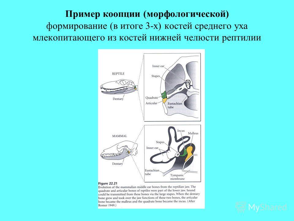Пример коопции (морфологической) формирование (в итоге 3-х) костей среднего уха млекопитающего из костей нижней челюсти рептилии