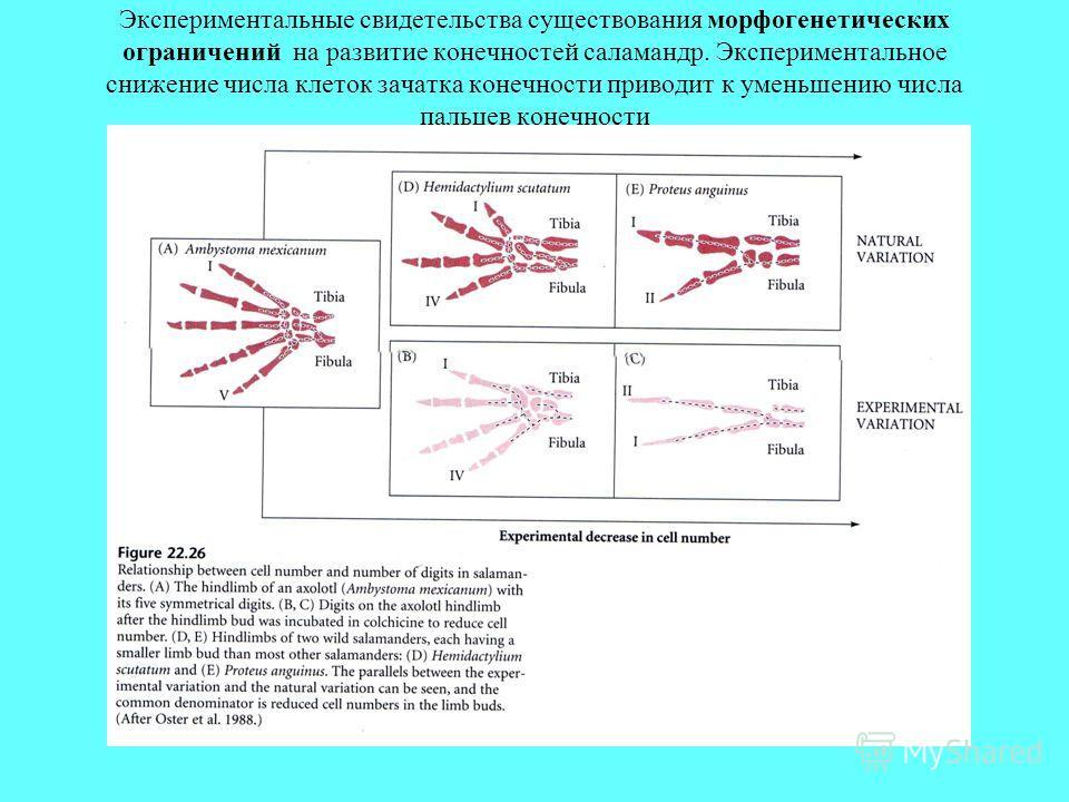 Экспериментальные свидетельства существования морфогенетических ограничений на развитие конечностей саламандр. Экспериментальное снижение числа клеток зачатка конечности приводит к уменьшению числа пальцев конечности
