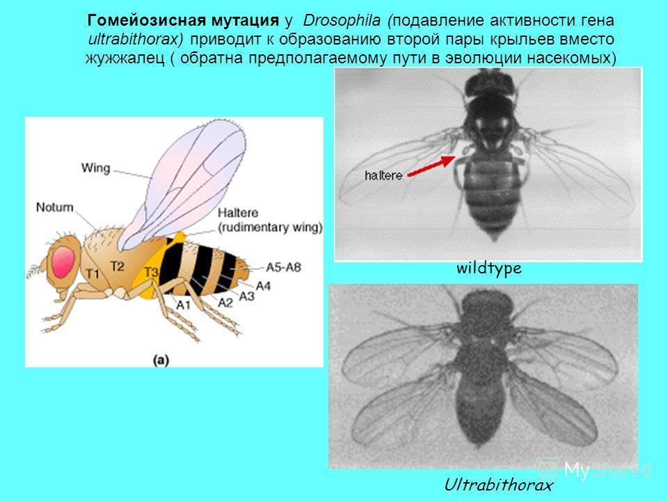 Гомейозисная мутация у Drosophila (подавление активности гена ultrabithorax) приводит к образованию второй пары крыльев вместо жужжалец ( обратна предполагаемому пути в эволюции насекомых) wildtype Ultrabithorax