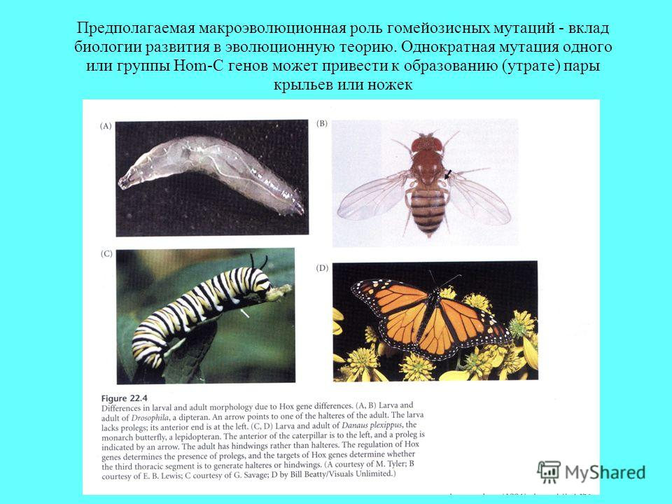 Предполагаемая макроэволюционная роль гомейозисных мутаций - вклад биологии развития в эволюционную теорию. Однократная мутация одного или группы Hom-C генов может привести к образованию (утрате) пары крыльев или ножек