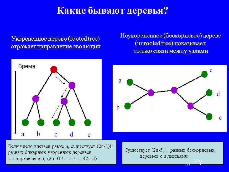 Какие бывают деревья? Укорененное дерево (rooted tree) отражает направление эволюции Неукорененное (бескорневое) дерево (unrooted tree) показывает только связи между узлами Время Если число листьев равно n, существует (2n-3)!! разных бинарных укоренн