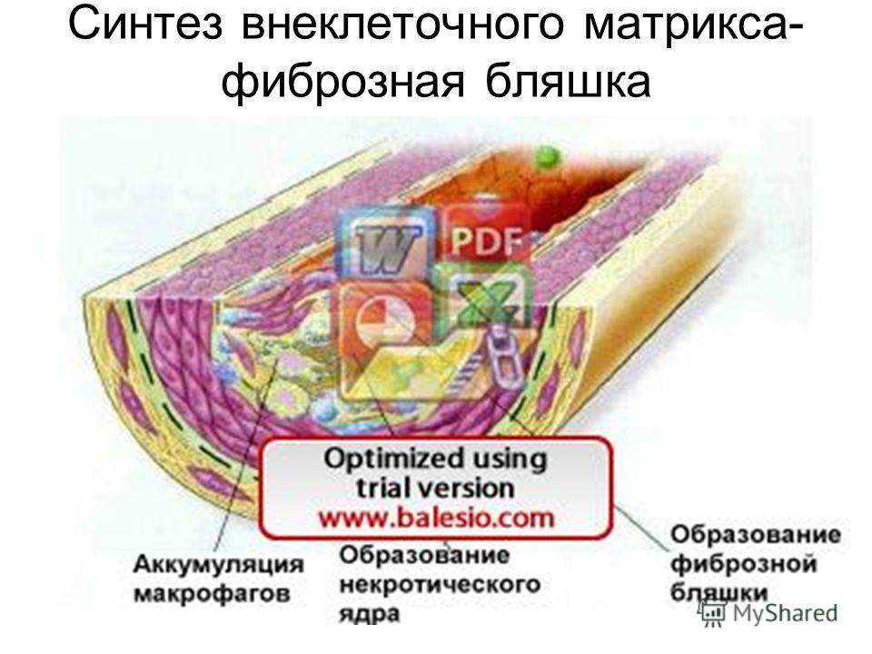 Синтез внеклеточного матрикса- фиброзная бляшка