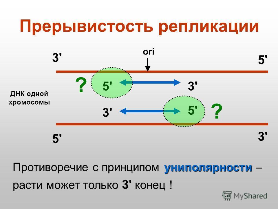 Прерывистость репликации ДНК одной хромосомы ori 3'3' 5'5' 3'3' 5'5' 5'5' 5'5' 3'3' 3'3' униполярности Противоречие с принципом униполярности – расти может только 3' конец ! ? ?