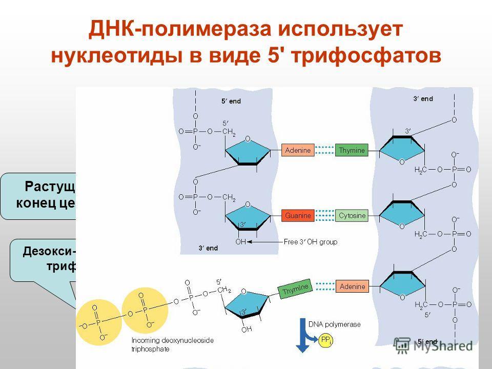 ДНК-полимераза использует нуклеотиды в виде 5' трифосфатов Растущий 3 конец цепочки Дезокси-нуклеотид трифосфат 5'5'3'3' 5'5' 3'3'