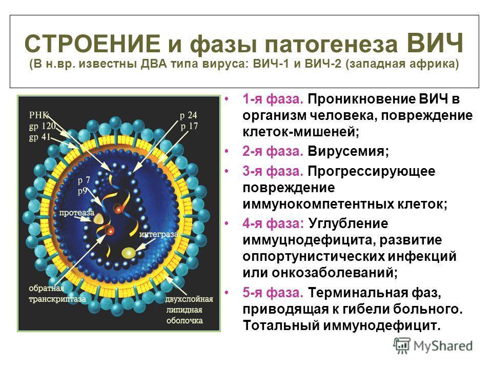 СТРОЕНИЕ и фазы патогенеза ВИЧ (В н.вр. известны ДВА типа вируса: ВИЧ-1 и ВИЧ-2 (западная африка) 1-я фаза. Проникновение ВИЧ в организм человека, повреждение клеток-мишеней; 2-я фаза. Вирусемия; 3-я фаза. Прогрессирующее повреждение иммунокомпетентн