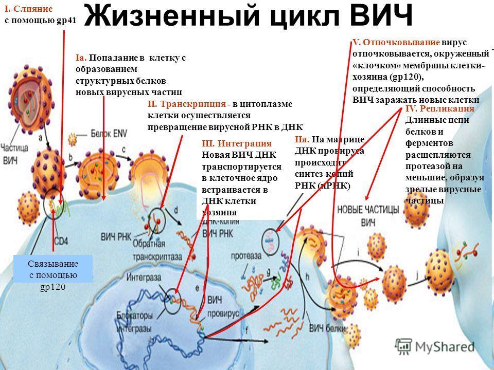 Жизненный цикл ВИЧ Связывание с помощью gp120 I. Слияние с помощью gp41 Iа. Попадание в клетку с образованием структурных белков новых вирусных частиц II. Транскрипция - в цитоплазме клетки осуществляется превращение вирусной РНК в ДНК III. Интеграци
