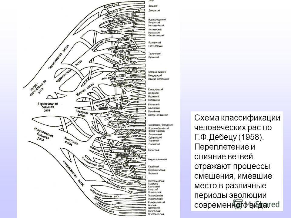 Схема классификации человеческих рас по Г.Ф.Дебецу (1958). Переплетение и слияние ветвей отражают процессы смешения, имевшие место в различные периоды эволюции современного вида.