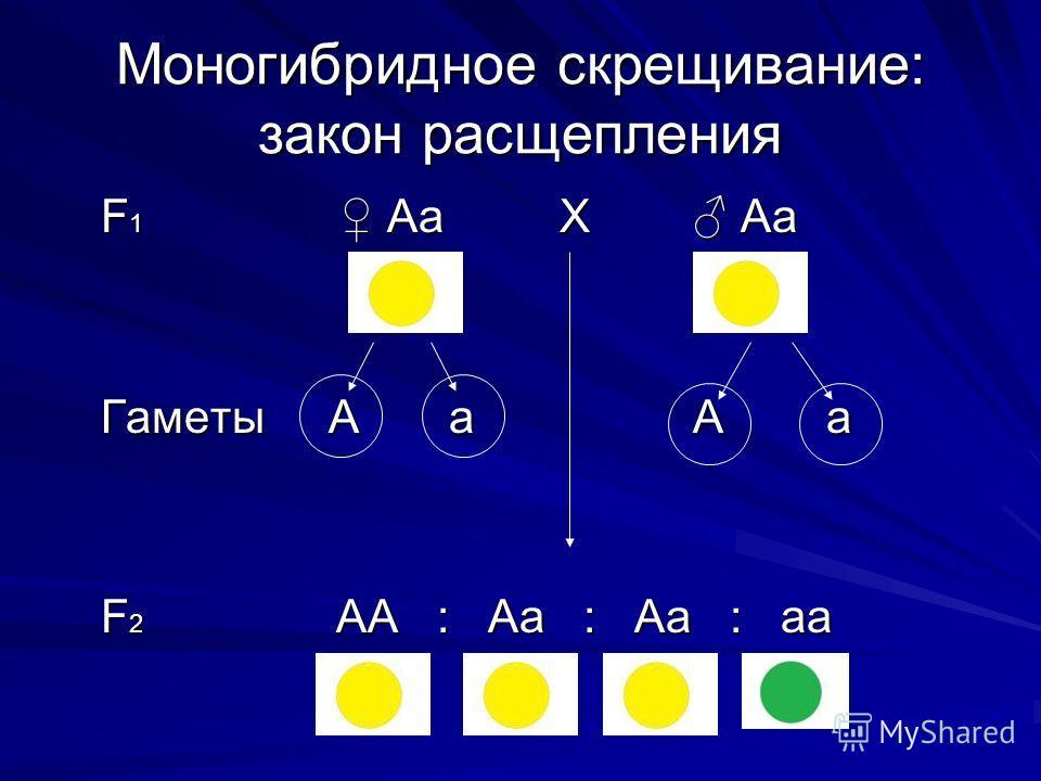 Моногибридное скрещивание: закон расщепления F 1 Аа Х Аа F 1 Аа Х Аа Гаметы А а А а Гаметы А а А а F 2 АА : Аа : Аа : аа F 2 АА : Аа : Аа : аа