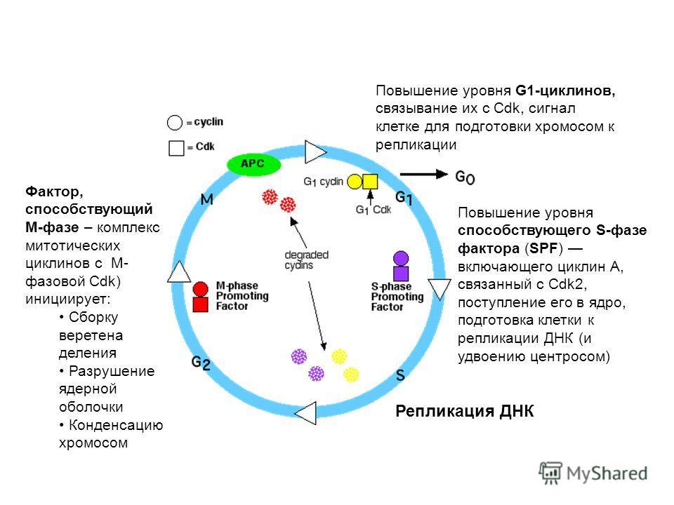 Повышение уровня G1-циклинов, связывание их с Cdk, сигнал клетке для подготовки хромосом к репликации Повышение уровня способствующего S-фазе фактора (SPF) включающего циклин A, связанный с Cdk2, поступление его в ядро, подготовка клетки к репликации