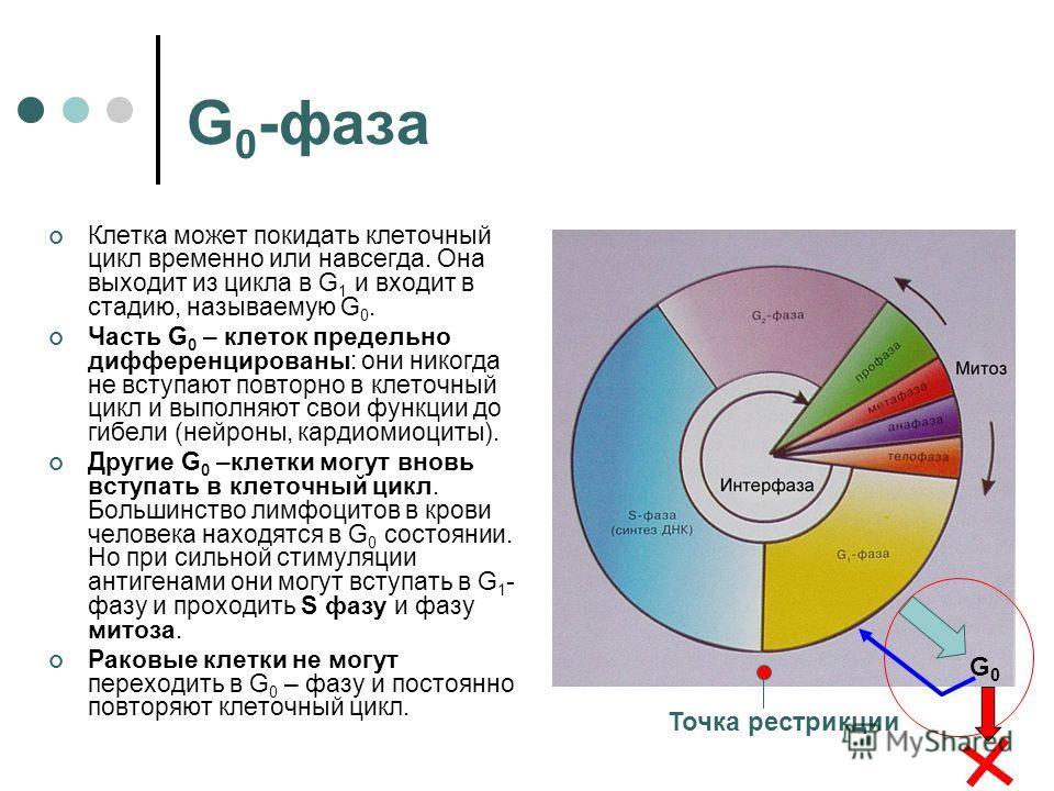 G 0 -фаза Клетка может покидать клеточный цикл временно или навсегда. Она выходит из цикла в G 1 и входит в стадию, называемую G 0. Часть G 0 – клеток предельно дифференцированы: они никогда не вступают повторно в клеточный цикл и выполняют свои функ
