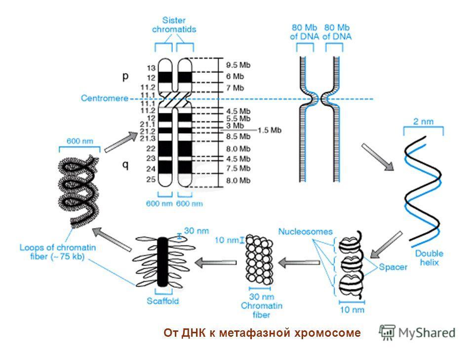 От ДНК к метафазной хромосоме