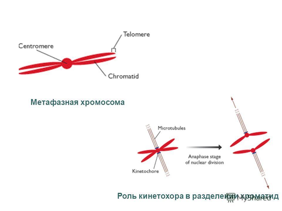 Метафазная хромосома Роль кинетохора в разделении хроматид