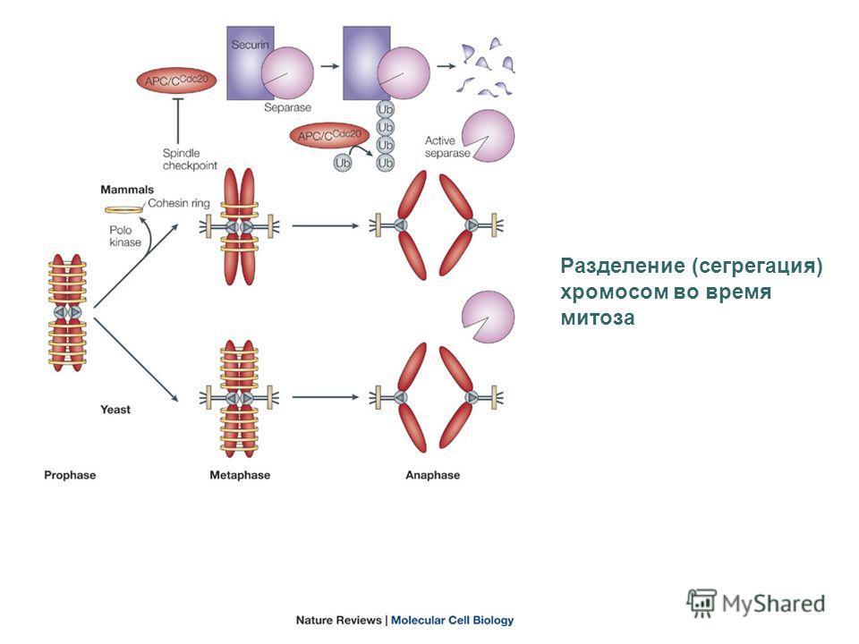 Разделение (сегрегация) хромосом во время митоза
