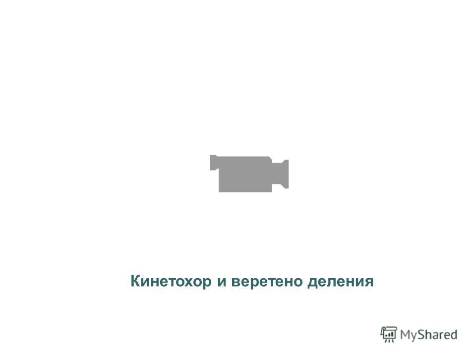 Кинетохор и веретено деления