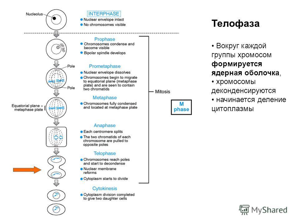 Телофаза Вокруг каждой группы хромосом формируется ядерная оболочка, хромосомы деконденсируются начинается деление цитоплазмы