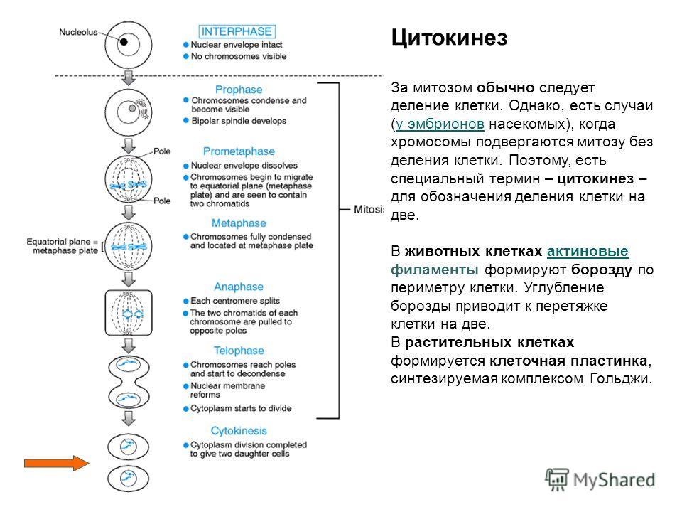 Цитокинез За митозом обычно следует деление клетки. Однако, есть случаи (у эмбрионов насекомых), когда хромосомы подвергаются митозу без деления клетки. Поэтому, есть специальный термин – цитокинез – для обозначения деления клетки на две.у эмбрионов