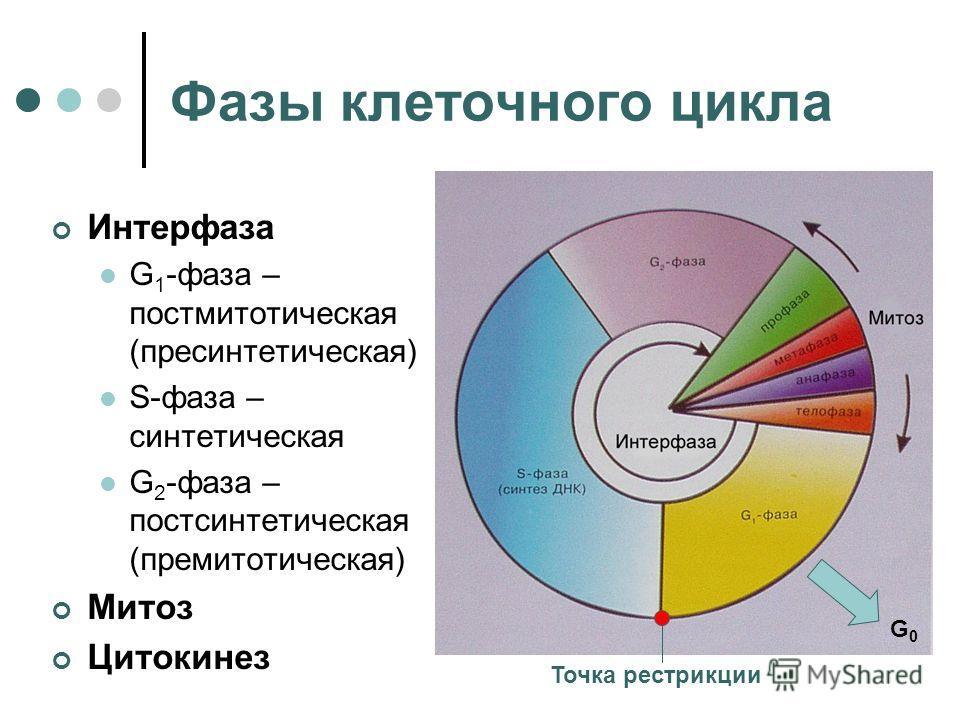 Фазы клеточного цикла Интерфаза G 1 -фаза – постмитотическая (пресинтетическая) S-фаза – синтетическая G 2 -фаза – постсинтетическая (премитотическая) Митоз Цитокинез G0G0 Точка рестрикции