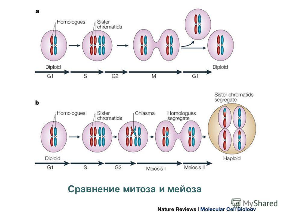 Cравнение митоза и мейоза
