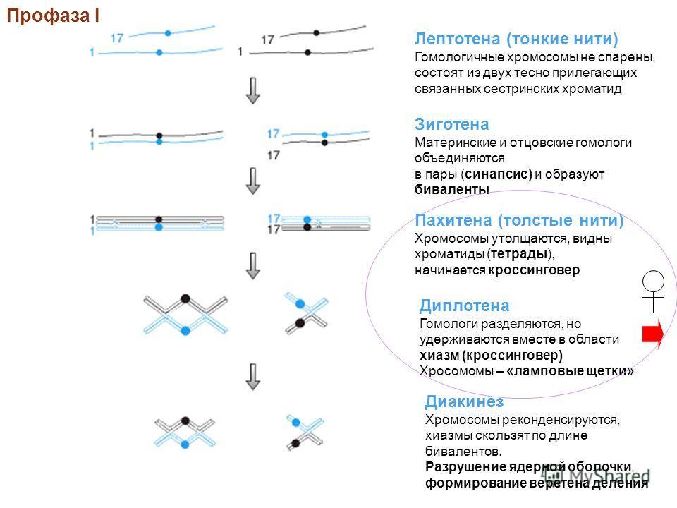 Профаза I Лептотена (тонкие нити) Гомологичные хромосомы не спарены, состоят из двух тесно прилегающих связанных сестринских хроматид Зиготена Материнские и отцовские гомологи объединяются в пары (синапсис) и образуют биваленты Пахитена (толстые нити