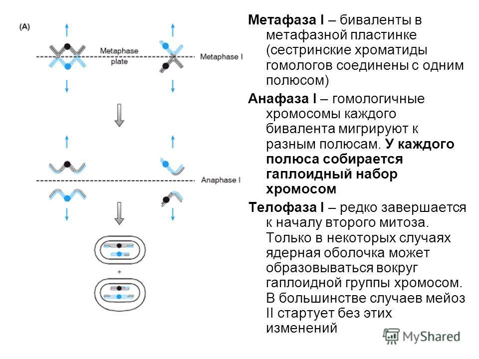 Метафаза I – биваленты в метафазной пластинке (сестринские хроматиды гомологов соединены с одним полюсом) Анафаза I – гомологичные хромосомы каждого бивалента мигрируют к разным полюсам. У каждого полюса собирается гаплоидный набор хромосом Телофаза