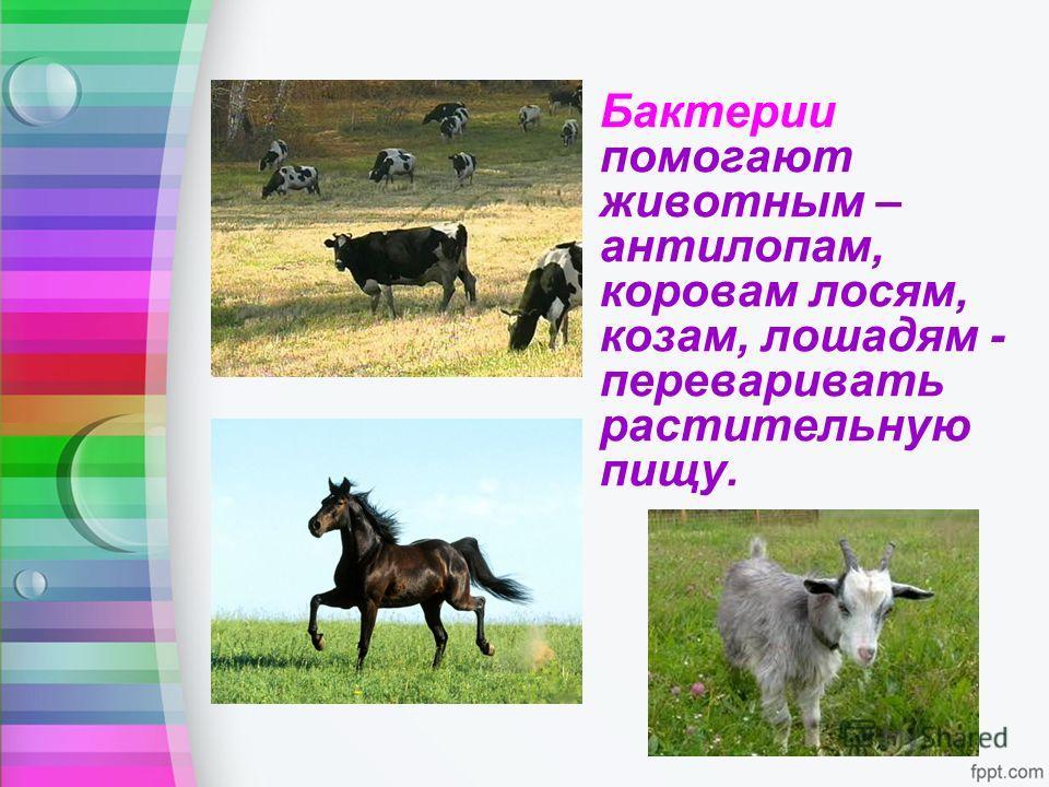 Бактерии помогают животным – антилопам, коровам лосям, козам, лошадям - переваривать растительную пищу.