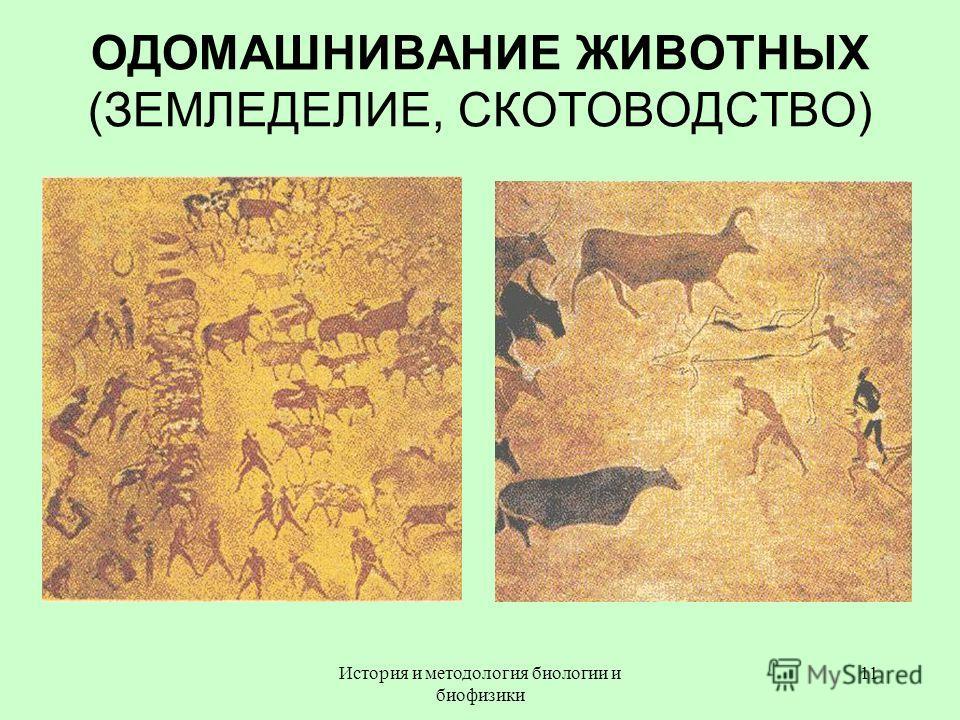 ОДОМАШНИВАНИЕ ЖИВОТНЫХ (ЗЕМЛЕДЕЛИЕ, СКОТОВОДСТВО) 11История и методология биологии и биофизики