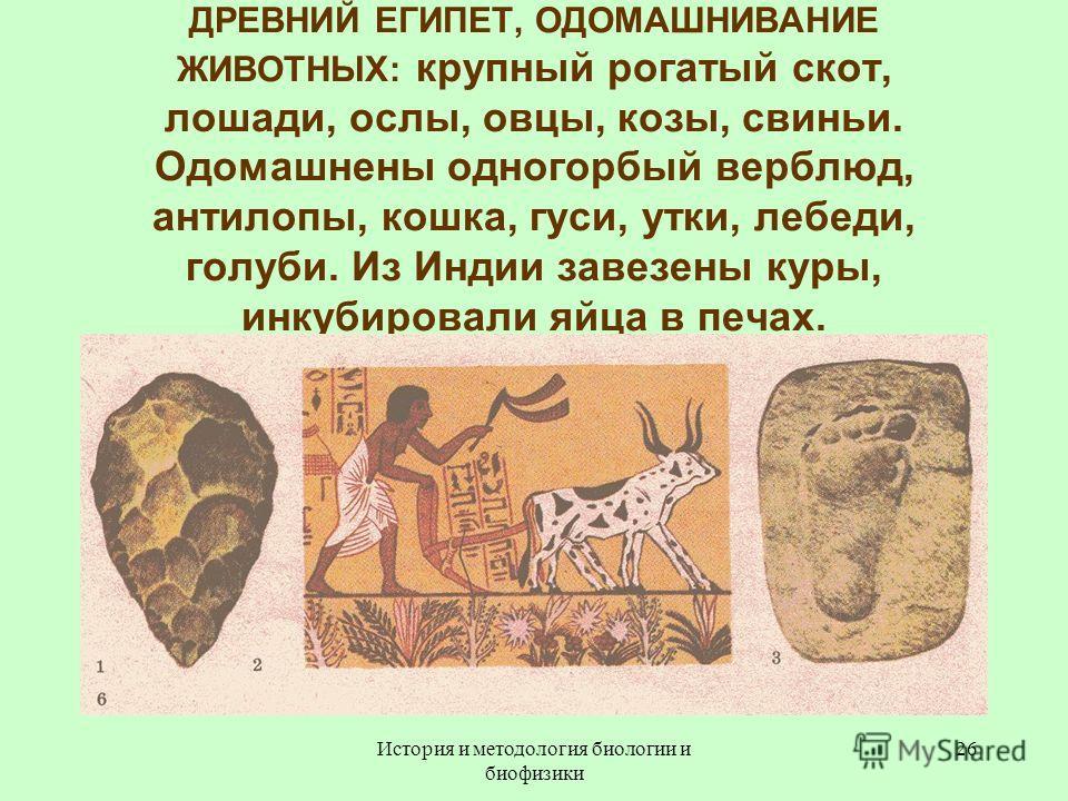 ДРЕВНИЙ ЕГИПЕТ, ОДОМАШНИВАНИЕ ЖИВОТНЫХ: крупный рогатый скот, лошади, ослы, овцы, козы, свиньи. Одомашнены одногорбый верблюд, антилопы, кошка, гуси, утки, лебеди, голуби. Из Индии завезены куры, инкубировали яйца в печах. 26История и методология био