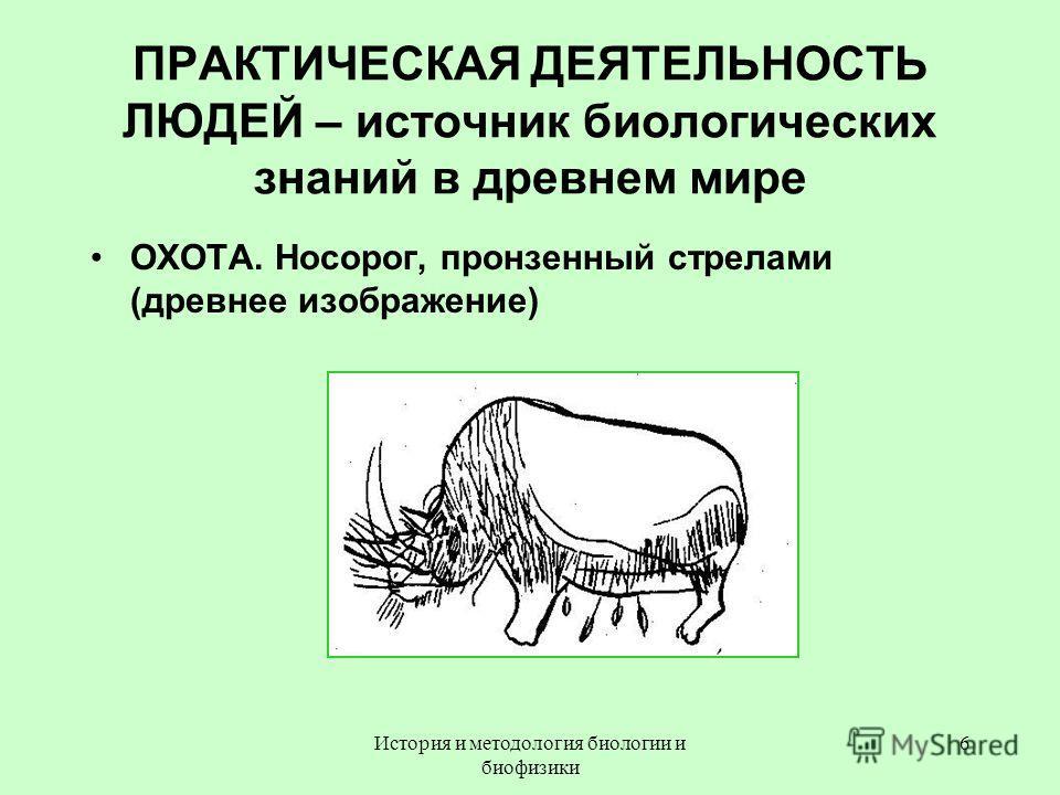 ПРАКТИЧЕСКАЯ ДЕЯТЕЛЬНОСТЬ ЛЮДЕЙ – источник биологических знаний в древнем мире ОХОТА. Носорог, пронзенный стрелами (древнее изображение) 6История и методология биологии и биофизики