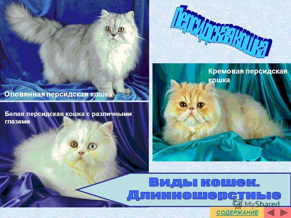 Голубая персидская кошка Золотистая персидская кошка Красная персидская кошка СОДЕРЖАНИЕ