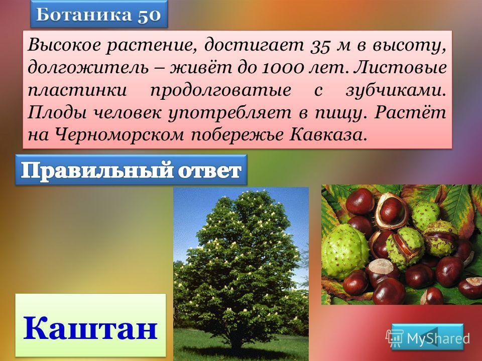 Высокое растение, достигает 35 м в высоту, долгожитель – живёт до 1000 лет. Листовые пластинки продолговатые с зубчиками. Плоды человек употребляет в пищу. Растёт на Черноморском побережье Кавказа. Каштан