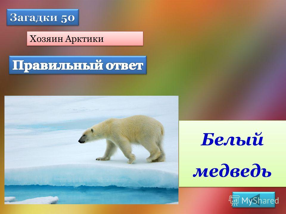 Хозяин Арктики Белый медведь
