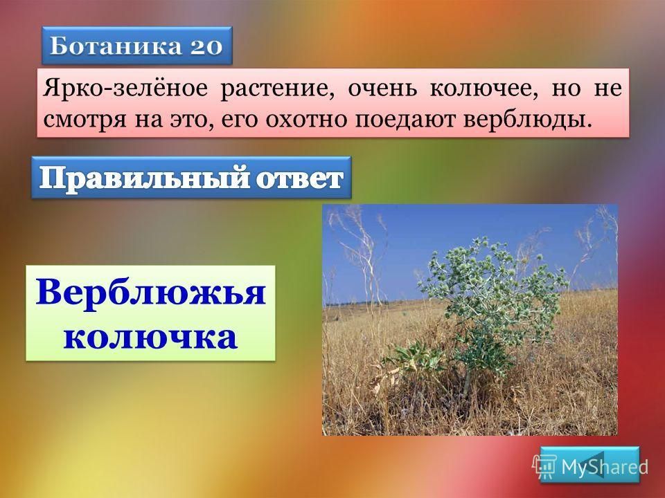Ярко-зелёное растение, очень колючее, но не смотря на это, его охотно поедают верблюды. Верблюжья колючка