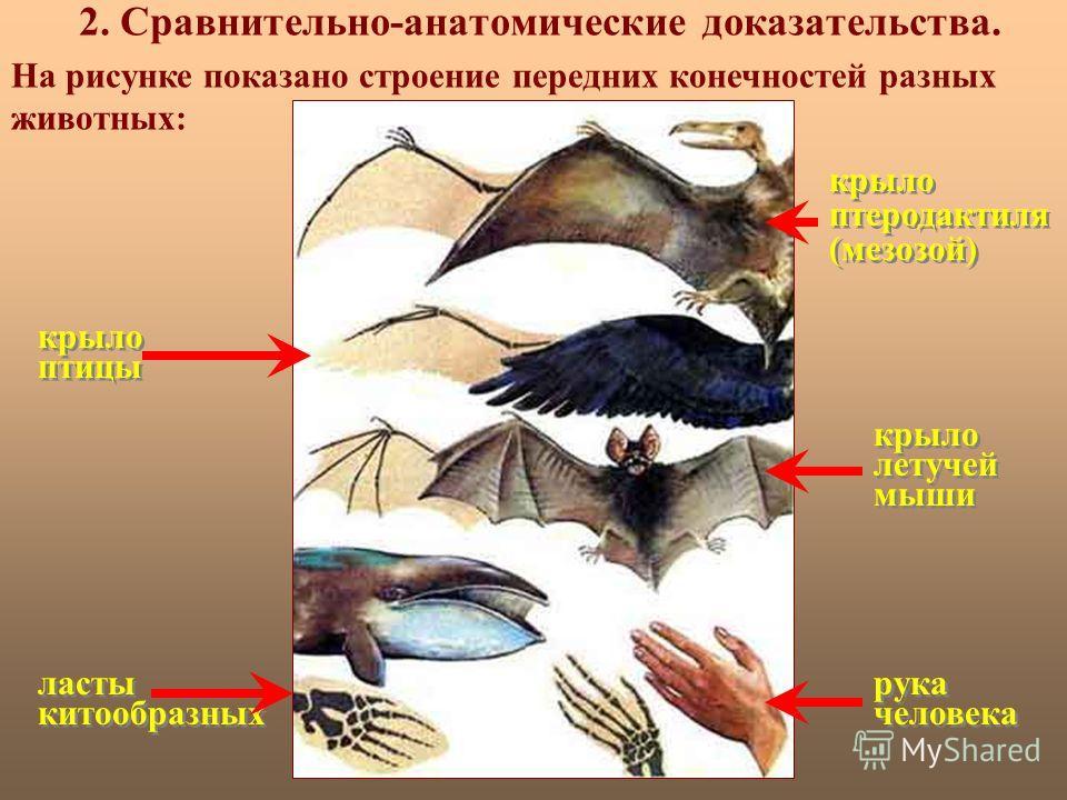 2. Сравнительно-анатомические доказательства. крыло птеродактиля (мезозой) крыло птицы крыло летучей мыши ласты китообразных рука человека На рисунке показано строение передних конечностей разных животных: