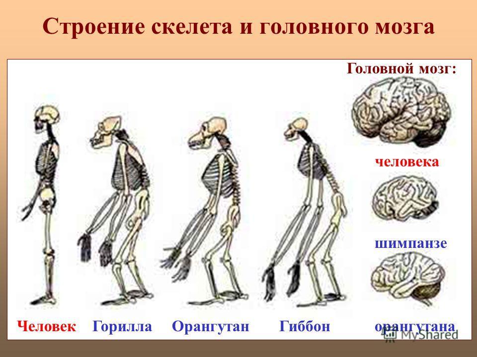 Строение скелета и головного мозга ЧеловекГориллаОрангутанГиббон Головной мозг: человека шимпанзе орангутана