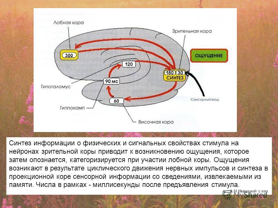 Синтез информации о физических и сигнальных свойствах стимула на нейронах зрительной коры приводит к возникновению ощущения, которое затем опознается, категоризируется при участии лобной коры. Ощущения возникают в результате циклического движения нер