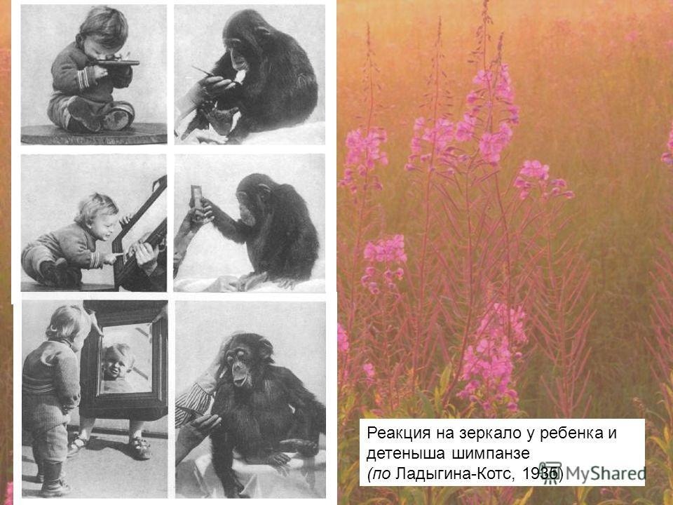 Реакция на зеркало у ребенка и детеныша шимпанзе (по Ладыгина-Котс, 1935)