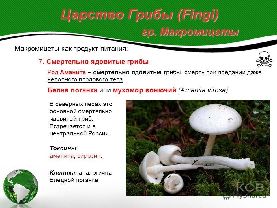 Царство Грибы (Fingi) гр. Макромицеты Макромицеты как продукт питания: 7. Смертельно ядовитые грибы Род Аманита – смертельно ядовитые грибы, смерть при поедании даже неполного плодового тела. Бледная поганка (Amanita phalloides) – самый ядовитый гриб