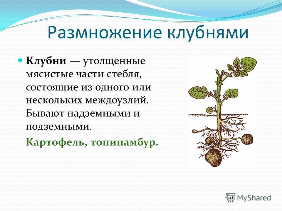 Размножение клубнями Клубни утолщенные мясистые части стебля, состоящие из одного или нескольких междоузлий. Бывают надземными и подземными. Картофель, топинамбур.