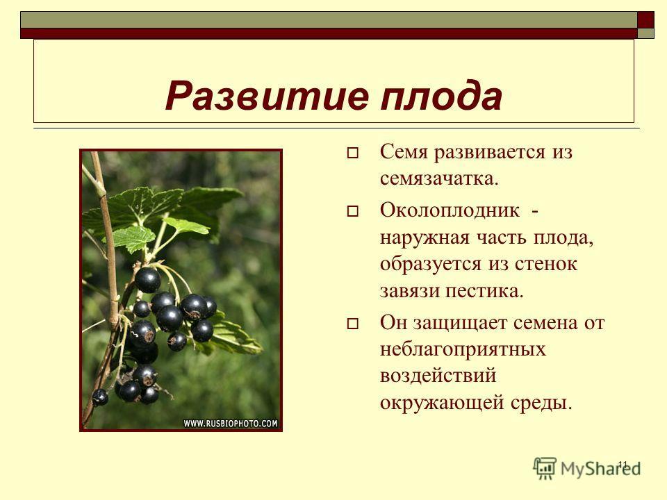 11 Развитие плода Семя развивается из семязачатка. Околоплодник - наружная часть плода, образуется из стенок завязи пестика. Он защищает семена от неблагоприятных воздействий окружающей среды.
