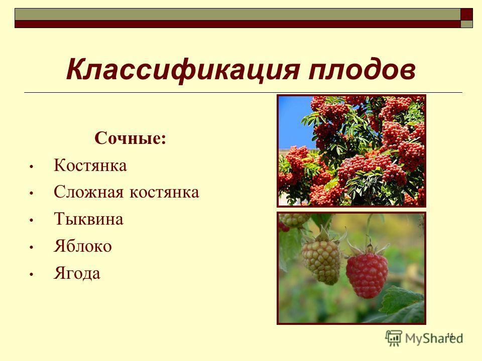 14 Классификация плодов Сочные: Костянка Сложная костянка Тыквина Яблоко Ягода