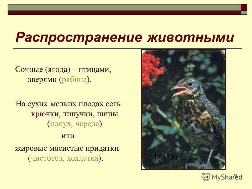 24 Распространение животными Сочные (ягода) – птицами, зверями (рябина). На сухих мелких плодах есть крючки, липучки, шипы (лопух, череда) или жировые мясистые придатки (чистотел, хохлатка).