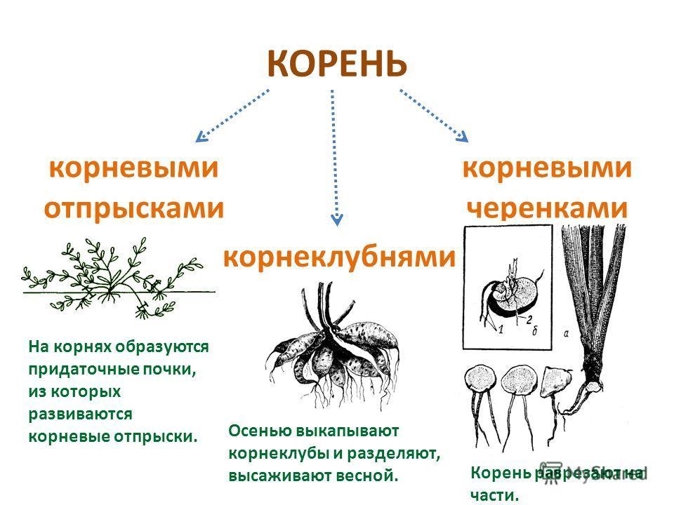 КОРЕНЬ корневыми отпрысками корневыми черенками корнеклубнями На корнях образуются придаточные почки, из которых развиваются корневые отпрыски. Осенью выкапывают корнеклубы и разделяют, высаживают весной. Корень разрезают на части.