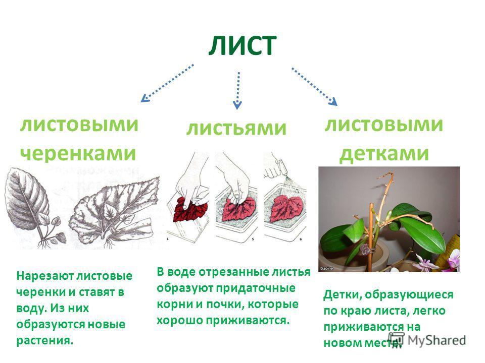 ЛИСТ листьями листовыми черенками листовыми детками Нарезают листовые черенки и ставят в воду. Из них образуются новые растения. В воде отрезанные листья образуют придаточные корни и почки, которые хорошо приживаются. Детки, образующиеся по краю лист